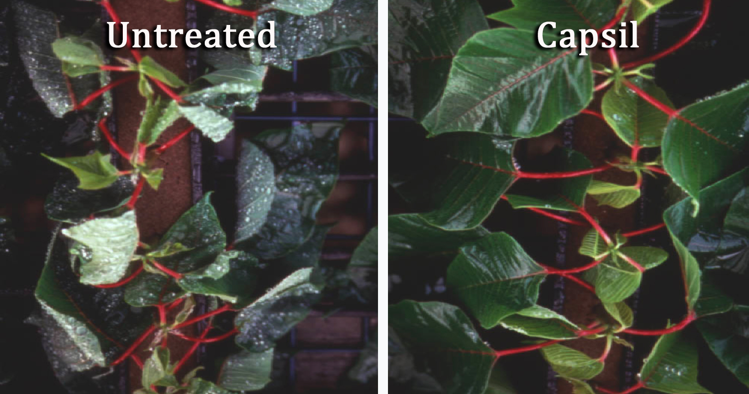 Capsil vs Untreated Cuttings