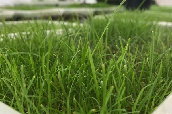 grasscloseup